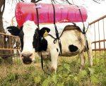 cow-gas-tank-404_686141c